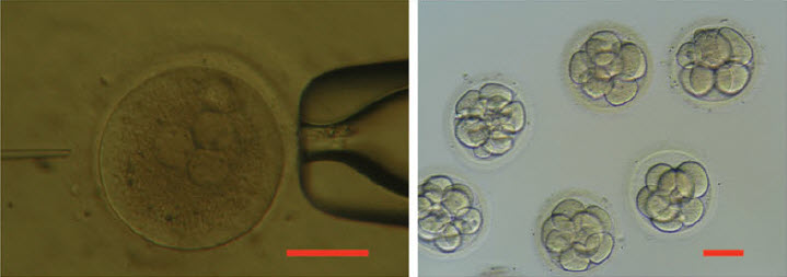 human-3PN-zygote human-development-8-16-cell-stage-in-vitro