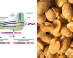 Peanut allergies could be a thing of the past if science is allowed to dictate the future