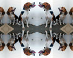 Chinese scientists have genetically engineered extra muscular beagle dogs using crispr cas9