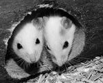 Researchers find anti aging protein within the youngsters blood makes older mice younger and lose weight