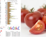 Researchers have created a new tomato that contains resveratrol one tomato is equivalent to about 50 bottles of red wine