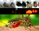 Geneticists designer mosquitoes created to destroy malaria are ready just need community for testing