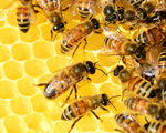 City beehives are essential to help protect the future of food