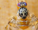 Genetically modified fly to be released next year will help combat pests destroying crops