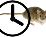 Lifespan mice extended 25 percent researchers working integrate humans