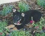 Miss murphy ann blue heeler dog puppy