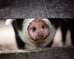 Cultured bacon be delicious a dutch startup is developing the first lab grown pork