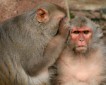 Researchers reconstruct spoken words as processed in nonhuman primate brains with brain computer interfaces