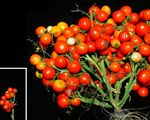 Scientists gene edited tomatoes to make them grow like grapes