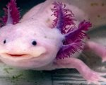 Scientists discover axolotl genes involved in their amazing limb regeneration